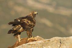 Medio Ambiente vela para salvaguardar la época de reproducción de las aves rapaces