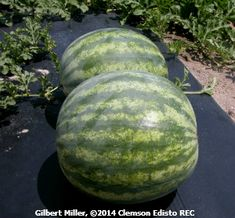 Planting Watermelons (Citrullus lanatus) are warm-season crops that grow best at average air temperatures between 70 and 85 °F. Melon seeds do not. Watermelon Plant, How To Grow Watermelon, Fruit Garden, Vegetable Garden, Black Mulch, Types Of Mulch, Cucumber Beetles, Plant Diseases, Insect Pest