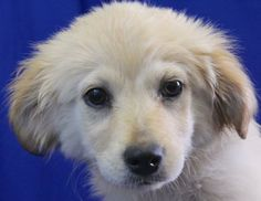 Meet Flossie 45211 a Petfinder adoptable Golden Retriever Dog | Baton Rouge, LA | All Dogs are spayed or neutered, up to date on all vaccinations, and given a physical by a...