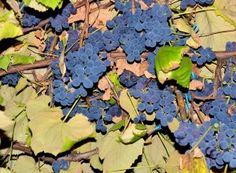 Când se coc, strugurii inundă curtea cu un parfum îmbătător de fragi. Colorbox, Home And Garden, Organic, Fruit, Image, Salvia, Gardening, Permaculture, Agriculture