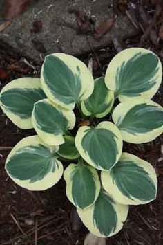 "Hosta Mighty Mouse  ---  Mini from the Mouse series, hostas with thick, slug-resistant leaves & a nice symmetrical habit. Mighty Mouse is blue -green with yellow margins in spring, aging to blue -gray & creamy white. Gets 5-8"" tall by 10-12"" wide. A first-rate mini. z 3-8"