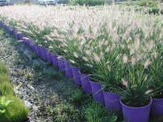 Piglet Dwarf Fountain Grass.  I even love all the purple pots here--great look.