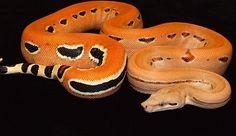 fleshskeleton: python Scoria Morph