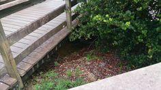 Hlava aligátora (pod mostem) - Head of aligator   (under the bridge) - USA - Everglades NP - 2014