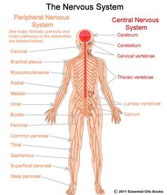 The nervous system includes both the Central nervous system and Peripheral nervous system. The Central nervous system is made up of the brain and spinal cord and The Peripheral nervous system is made up of the Somatic and the Autonomic nervous systems. Nervous System Diagram, Nervous System Anatomy, Human Nervous System, Peripheral Nervous System, Central Nervous System, Endocrine System, Science Lesson Plans, Science Fair, Science Education