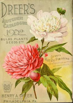 Back cover of Dreer's Autumn 1902 Catalogue with an illustration of 'Dreer's Hardy Paeonies'.