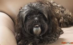 griffon dog pictures
