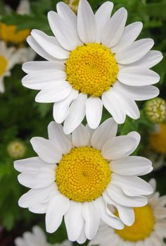 So easy to get caught by the simplicity of a daisy. My sister loves the daisy …. Flower Names, Flower Art, Amazing Flowers, Beautiful Flowers, Types Of White Flowers, Sunflowers And Daisies, Daisy Love, Bouquet, Flower Aesthetic