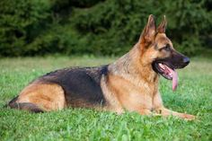 German Shepherd:  Loyal, Intelligent and powerful with a bite force of 238 pounds.