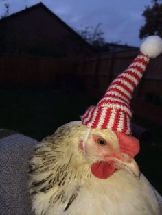 300 Best chickens images in 2019   Backyard chickens