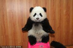 Panda cub balances on new ball!
