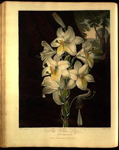 WHITE LILY New illustration of the sexual system of Carolu...PUBLIC DOMAIN