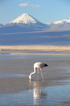 Chile's Atacama Desert is the driest place on earth - but pink flamingoes still flock around salt lakes to feed on tiny shrimp. www.visitchile.cl