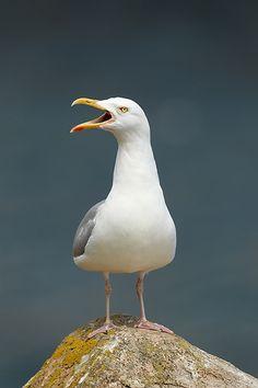 Tui Bird, Herring Gull, Canadian Wildlife, Shorebirds, Mundo Animal, Am Meer, Sea Birds, Beach Scenes, Colorful Birds