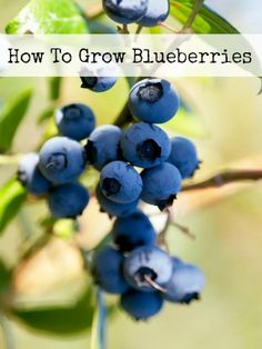 Growing your own blueberries will quickly become your favorite simple pleasure of the summer. The fruit is incredibly sweet and delicious, can be used in so many ways, and boasts a handful of health benefits that makes snacking on them almost a requirement. The plants themselves offer a lot to the garden and landscape wherever …