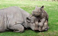 Rhinos everywhere!