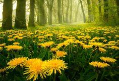 природа, весна, лес, одуванчики, утро, свет, Румыния