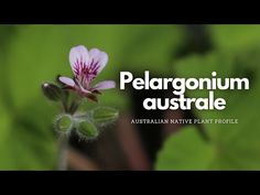 Pelargonium australe (Wild Geranium) | Plants for Bees | Australian Native Plant Profile - YouTube Wild Geranium, Geranium Plant, Native Plants, Geraniums, Bees, Nativity, Profile, Garden, Youtube