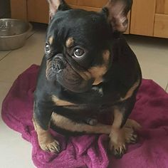 French Bulldog ❤ what unique coloring