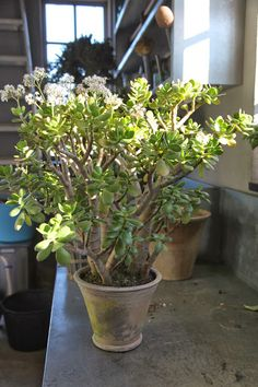 Jade Plant Is Appraised At 350kusd Location Seattle Wa