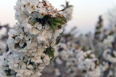 Cerezo en flor en Milagro (Navarra)