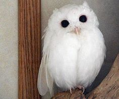 LITTLE ALBINO OWL AWW