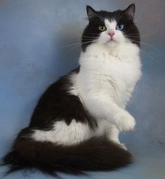 Margs! ❤️ Ragamuffin cats | RagaMuffin Kittens & RagaMuffin Breeder #ragdollcatbeautiful