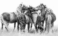 Sable Island Horse - Paintings and Photos of Sable Island Horses