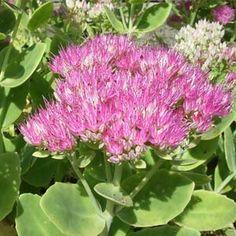 Flores Sedum-vistoso