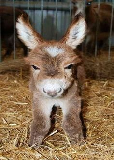 Just Pinned to Animals: Baby Donkey. Who knew they were so cute! Cute Creatures, Beautiful Creatures, Animals Beautiful, Beautiful Things, Cute Baby Animals, Animals And Pets, Funny Animals, Baby Donkey, Mini Donkey