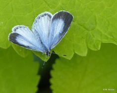 Spring Azure Celastrina ladon