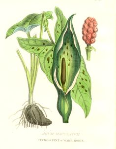 Poisonous Plants:  #Arum #maculatum (#Cuckoo-Pint), from hand-colored engravings made in the 1850s, by William Rhind.