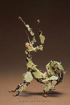 macrofotografías de insectos: Insecto palo (Extatosoma tiaratum)