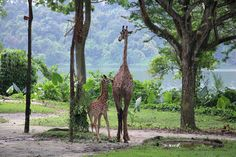Singapore Zoo welcomes first giraffe calf in 28 years ! Measuring tall at birth, Wildlife Reserves Singapore says the calf is the tallest baby, and a naming contest is planned in the coming months. Singapore Zoo, Its A Wonderful Life, Giraffe, Calves, Wildlife, Adventure, Birth, World, Travel