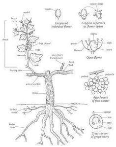 Training system analysis from MSU Horticulture dept (link: http://grapes.msu.edu/pdf/cultural/vineTrain.pdf)