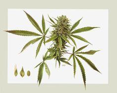 marijuana botanical illustration - Google Search