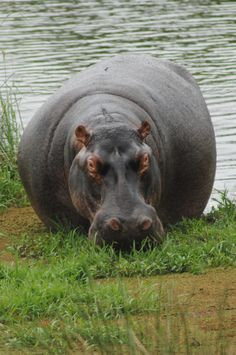 Hippo relaxing at St Lucia wetlands. South Africa