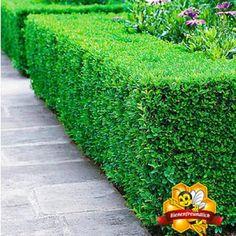 kranker buchsbaum die besten ersatzpflanzen die zwerge. Black Bedroom Furniture Sets. Home Design Ideas
