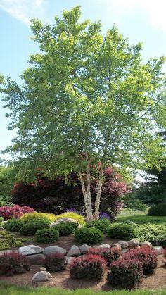 Betula nigra 'Heritage' (River Birch) … gorgeous peeling bark, pest resistance and a graceful shape.