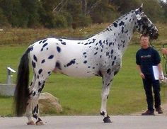 Knabstrupper Breeds of Horses | Found on knabstruppers4usa.com