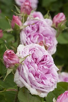 Rose Mme Boll (Les Roses Anciennes André Ève), Roseraie André Ève, photo C. Hochet / Rustica