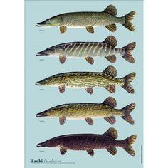 Hauen variaatiot Suomessa juliste Fish, Pets, Animals, Animales, Animaux, Pisces, Animal, Animais, Animals And Pets