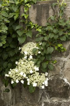 Climbing Hydrangea - grows in shade, possibly low water once established, maybe under pines...