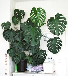 Window leaf (Monstera deliciosa) Split leaf philodendron - All For Herbs And Plants Monstera Deliciosa, Philodendron Monstera, Monstera Obliqua, Indoor Garden, Garden Plants, Plantas Indoor, Plants Are Friends, Plant Pictures, String Garden