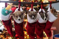 Who wouldn't want a Corgi in their stocking on Christmas morning!?