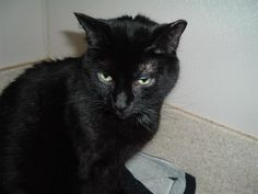 Meet Maple a Petfinder adoptable Domestic Short Hair-black Cat | Columbus, OH | Hi there--my name is Maple and I am a beautiful short hair black kitty girl.  I am about three...