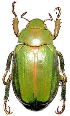 Generic Guide to New World Scarab Beetles-Scarabaeidae-Rutelinae-Rutelini-Chrysina