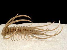 russian ordovician trilobite-Boedaspis ensifer