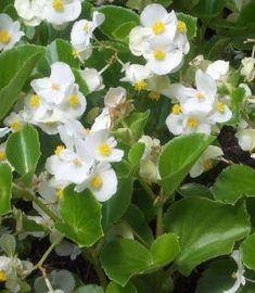 Imágenes de flores y plantas: Begonia