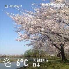 おはようございます!瓢湖の桜はもう少しで終わりそうな感じでした〜♪